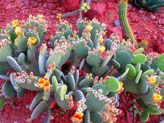 Am un cactus, cum il ingrijesc? Informatii utile despre ingrijire, intretinere, inmultire, udare, Opuntia Microdasys, Just Amazing, Cactus Plants, Succulents, Nature, Leather Projects, Succulent Plants, Plant, Flowers