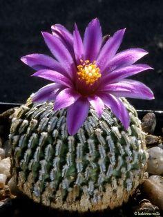 ✿*Cactus*✿*Suculentas*✿  Turbinicarpus Pseudomacrochele Cactus -