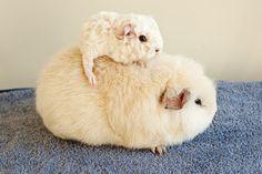 newborn baby guinea pigs - Google Search