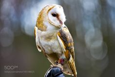 Barn Owl by Greenacre7 #nature #mothernature #travel #traveling #vacation #visiting #trip #holiday #tourism #tourist #photooftheday #amazing #picoftheday