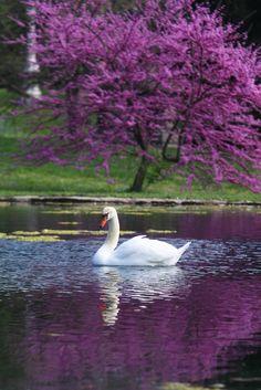 """Spring Grove Swan"" by Mark Dumont on Flickr - Cincinnati, Ohio"