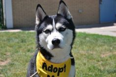 Staten Island Center CLOVE – A1037232 MALE, BLACK / WHITE, SIBERIAN HUSKY MIX, 1 yr STRAY – STRAY WAIT, NO HOLD Reason STRAY Intake condition EXAM REQ Intake Date 05/22/2015