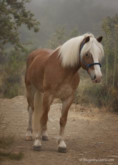 """redwingjohnny:  (via 500px / Photo """"Haflinger"""" by Laurie Rubin)"""