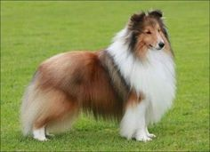 The Shetland Sheepdog, also known as the Sheltie, is a breed of herding dog. The original name of this breed was Shetland Collie, but this caused controversy among the Rough Collie breeders at the time, so the breed's name was formally changed to Shetland Sheepdog.