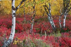 Autumn in Finland Lappland, Forest Painting, Landscape Pictures, Nature Images, Fall Photos, Autumn Trees, Wonders Of The World, Nature Photography, Beautiful Places