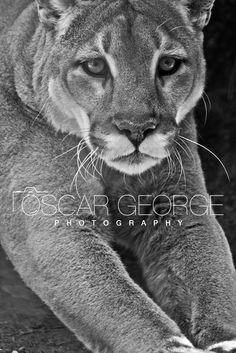 Beautiful Puma! Photo by Oscar George Photography www.oscargeorge.com Mountain Lion, Panther, Cats, Photos, Photography, Animals, Inspiration, Beautiful, Biblical Inspiration
