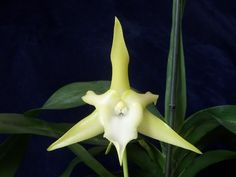 Angraecum sesquipedale - Orchid Board - Most Complete Orchid Forum on the web !