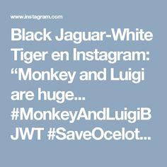 "Black Jaguar-White Tiger en Instagram: ""Monkey and Luigi are huge... #MonkeyAndLuigiBJWT #SaveOcelots @monkjungle @luismtay"""