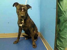 TO BE DESTROYED 7/8/14 Manhattan Center  My name is DARK. My Animal ID # is A0905619. I am a neutered male bl brindle am pit bull ter mix. The shelter thinks I am about 4 YEARS old.  I came in the shelter as a OWNER SUR on 06/25/2014 from NY 10026, owner surrender reason stated was TOO STRONG.