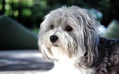 Lataa kuva Bichon havanais, 4k, lemmikit, Havana Bichon, pörröinen koira, söpöjä eläimiä, Bichon Havanese, koirat, Havana Bichon Koira