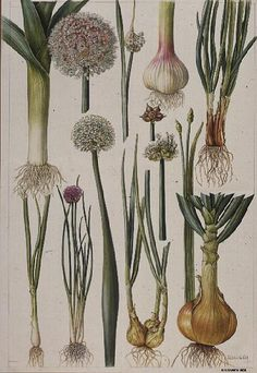 Onions and Other Vegetables Giclee Print by Elizabeth Rice - by AllPosters. Vintage Botanical Prints, Botanical Drawings, Botanical Art, Botanical Wallpaper, Illustration Botanique, Illustration Art, Nature Illustrations, Elizabeth Rice, Impressions Botaniques