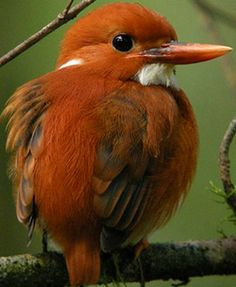 Madagascar Pygmy Kingfisher(Corythornis madagascariensis). Endemic to Madagascar.