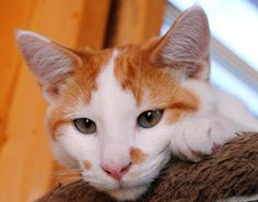 Adoptable Cat of the Day: Linden in Missouri
