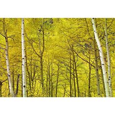 """I am always looking for something special to add to the galleries. I had been shooting fall in Colorado for 2 weeks searching for that distinct element. I looked at thousands of locations to find a tunnel of birches, leading you into the shot. Overcast skies provided me with soft light and the color of the leaves popped. I named this image Yellow.  Photo: Yellow 