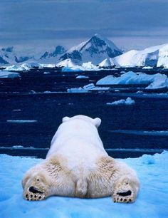 Polar bear (Ursus maritimus) lying on ice floe, rear view (Composite). Credit: Art Wolfe. °