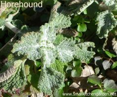 Horehound in late winter