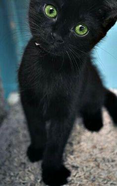 22 Scarily Cute Black Cats That Will Put A Spell On You - Katzenrassen Beautiful Cats Cute Kittens, Little Kittens, Cats And Kittens, Black Kittens, Cats Bus, Ragdoll Kittens, Tabby Cats, Tiny Kitten, Siamese Cats