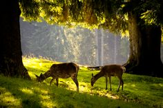 the enchanted forest of Paneveggio (TN) with its deer and fir trees