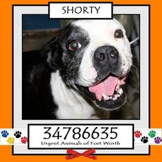 TO BE DESTROYED 04/25/17 ***REASON: MEDICAL*** SHORTY - 2 years old - English Bulldog Mix - 34786635 - Heartworm Positive, Animal Aggression - #34786635 - FOR MORE PICS, VIDEOS & INFO: http://www.dogsindanger.com/dog/1489941877685