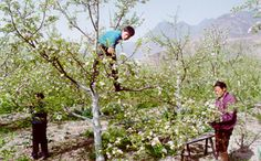 article image  Decline of bees forces China's apple farmers to pollinate by hand     The decline of wild bees in China threatens more than just its apple and pear harvests, says pollination expert Dave Goulson. How long before everyone has to pollinate all of our crops by hand ~ Yeah Monsanto...how long before you kill off all of our wild bees...