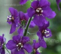 Relatively new to cultivation Verbascum phoeniceum 'Violetta' is by far the darkest flowered mullein available.