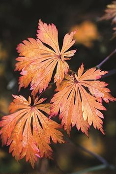 Fullmoon Japanese Maple | Acer japonicum 'ACONITIFOLIUM' | zones 5 - 7 | Green summer leaves turn orange and crimson in the fall | Mounding habit 8-10ft tall | A little shade is good | Be sure to water when young |Lovely and a little different | Photo by: Andrea Jones.
