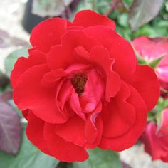 The tools below allow you to search by a plants common name or botanical name, a plants attributes or by plant category. Flower Colors, Colorful Flowers, Beautiful Flowers, Floribunda Roses, Rose Wall, Coming Up Roses, Zone 5, Sprays, Dark Red