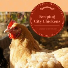 The Thrifty Homesteader: Keeping City Chickens: 7 things to consider, rules and regulations, raising, neighbors, building a coop