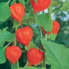 Poisonous Plant 'Chinese Lantern' Physalis. Look beautifully autumnal in my garden.