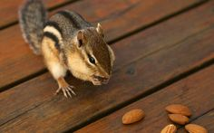 backyard_chipmunk_picture_1252634001_a9d2f88303_o.jpg (1280×800)