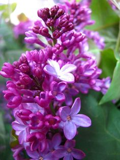 "Lilacs... my favorite smell in the world and their meaning is ""First feeling of love"" :]"