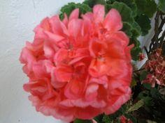Flores de San Ftancisco
