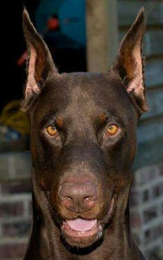 ! Doberman Shepherd, Doberman Pinscher Puppy, High Five, Rottweiler, Animals And Pets, Cute Animals, Doberman Love, Service Dogs, Beautiful Dogs
