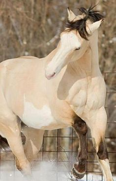 Buttermilk Buckskin Paint, one of the most beautiful horses ever All The Pretty Horses, Beautiful Horses, Animals Beautiful, Zebras, Horse Pictures, Animal Pictures, Wilde Mustangs, Cheval Pie, Animals And Pets