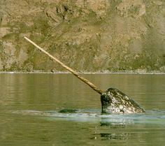 This week's Animal of the Week is The Narwhal! See more narwhal pics here. Beautiful Creatures, Animals Beautiful, The Narwhal, Real Unicorn, Ocean Life, Sea Creatures, Strange Creatures, Marine Life, Under The Sea