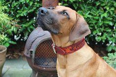 Dog collar for a Rhodesian ridgeback