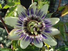 Passiflora caerulea Blue passion flower Blue crown Common passion flower Flower of five wounds Southern beauty Wild apricot mayana chinensis Blue passion vine Care Plant Varieties & Pruning Advice
