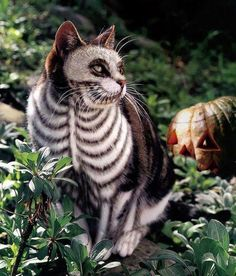 Cat makeup?  Halloween idea. This would be great to creep the hell out of my neighbor