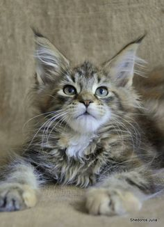 Dorothea Scibure by Shedoros Maine Coon Cattery http://www.mainecoonguide.com/where-to-find-maine-coon-kittens-for-sale/