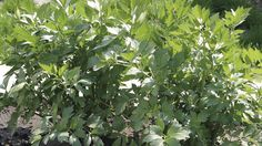 Zmladzujeme bylinky trvalky: Šalvia, ligurček, medovka, mäta a estragón