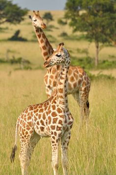 """Giraffes are highly social creatures but we are only just beginning to understand the complexities of their social systems and family networks."""""""