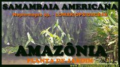 Amazônia - Planta de Vaso e Jardim - Samambaia Americana - Nephrolepis e...