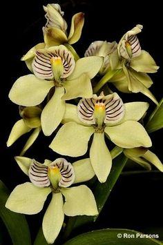 Orchidei * vanilková