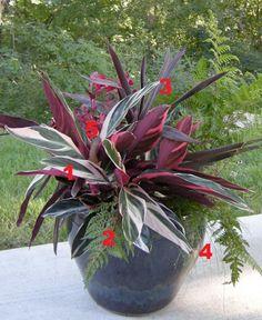 2012 Container Design Challenge Results: Fantastic Foliage | Fine Gardening Jane Horn Prior Lake, Minnesota  1. 'Triostar' stromanthe (Stromanthe sanguinea 'Triostar', Zones 10–11) 2. 'Lady in Red' lady fern (Athyrium filix-femina 'Lady in Red', Zones 4–9) 3. Bauer's dracaena palm (Cordyline 'Baueri', Zones 9–11) 4. Fiber-optic grass (Isolepsis cernua, Zones 8–10) 5. Chicken gizzard plant (Iresine herbstii, annual)