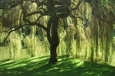willow trees belong in secret gardens.