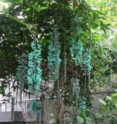 Jade Vines, Royal Botanical Garden