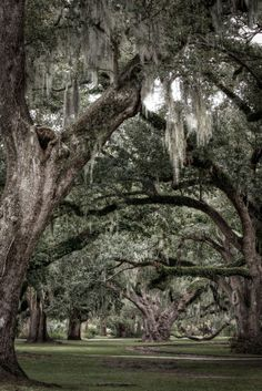 Mighty Oak Trees in City Park, New Orleans