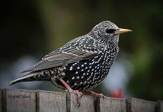 Starling in all its fine plumage