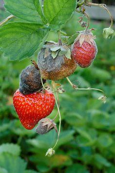 Gråskimmel Strawberry, Fruit, Food, Strawberries, Meals