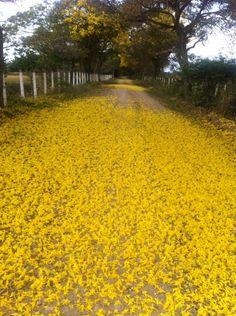 Cañaguates florecidos